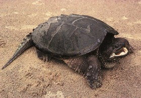 snapping_turtle_