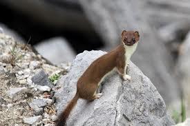 Weasel (summer)