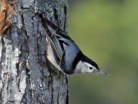 White-breasted_Nuthatch_RWD3