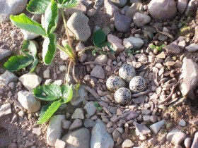 Killdeer nest2 015