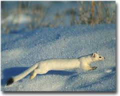 Weasel (winter)