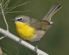 Yellow-breasted_Chat_