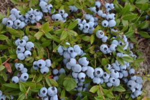 Blueberry-Closeup